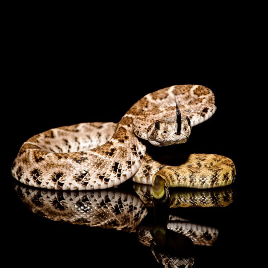 Snakes want Rodents, Not You