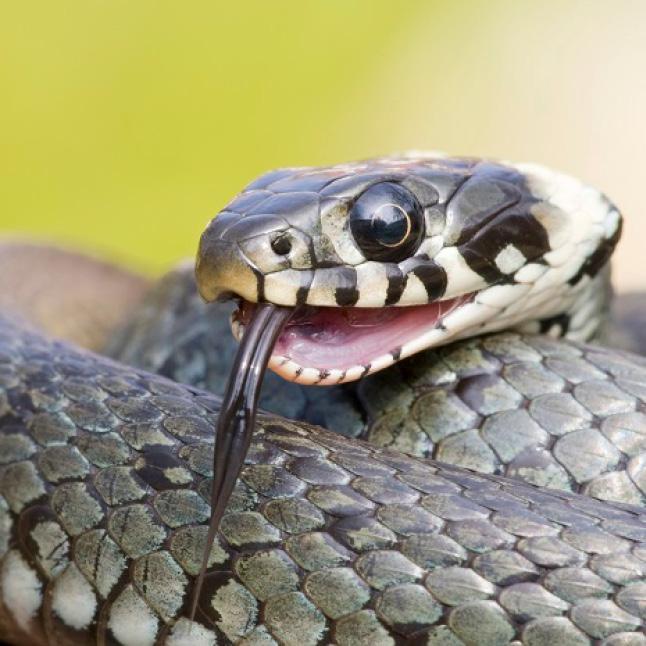 Repels Non-Venomous Snakes