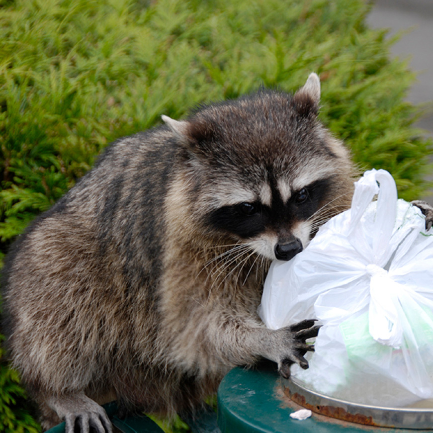 Racoon In Trashcan