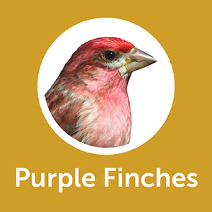 Pennington Premium Thistle Seed for Birds Purple Finches