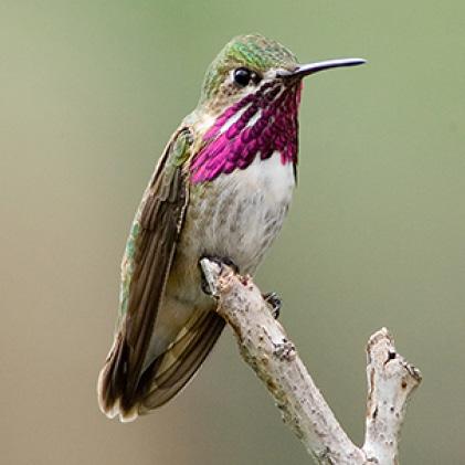 calliope hummingbirds, decorative glass hummingbird feeders