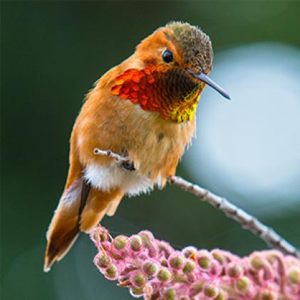 Allen's hummingbirds, decorative glass hummingbird feeders