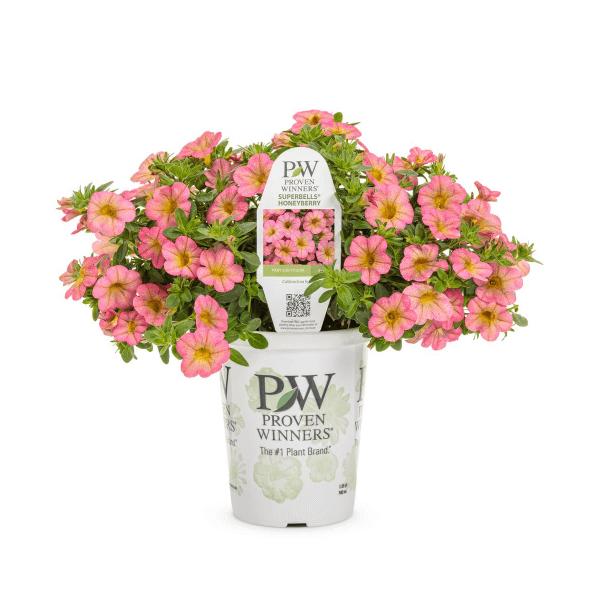 Proven Winners - Grande Superbells Honeyberry (Calibrachoa) Live Plants, Pink and Orange Plants
