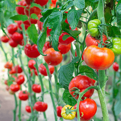 How to Trellis Tomatoes
