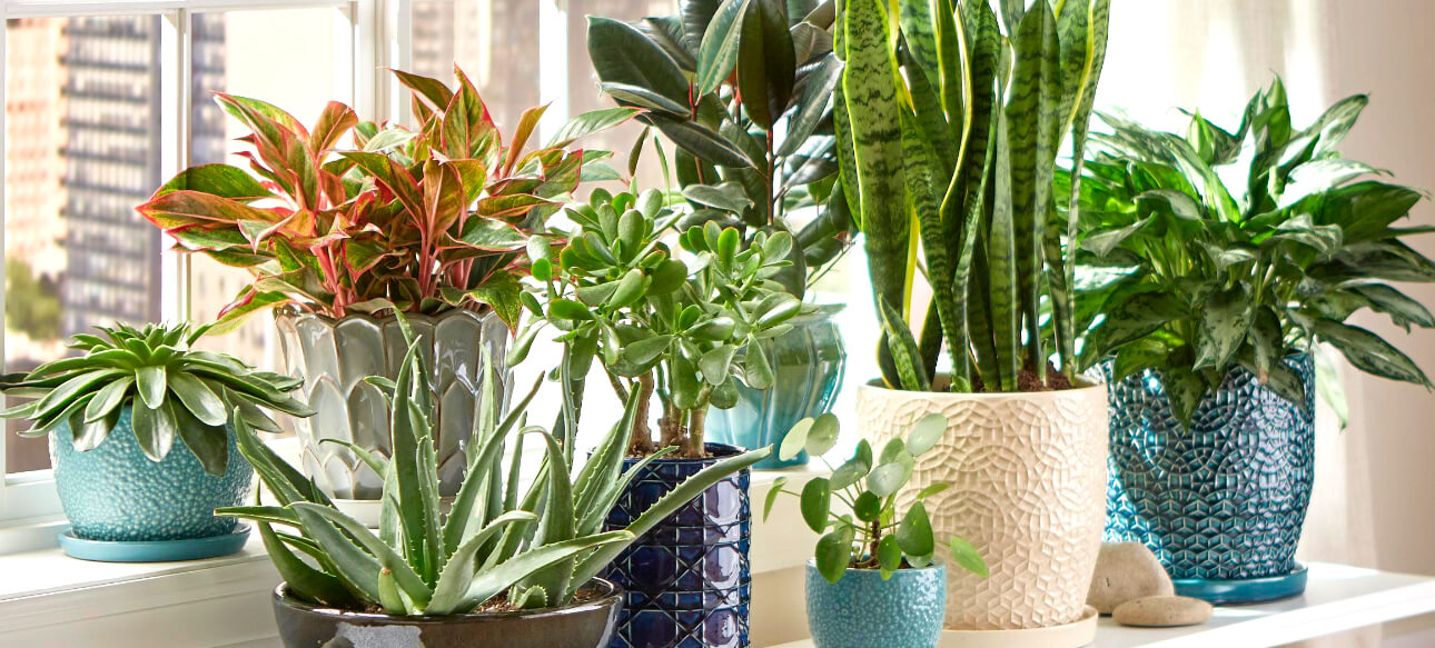 Image of: Indoor Plants The Home Depot