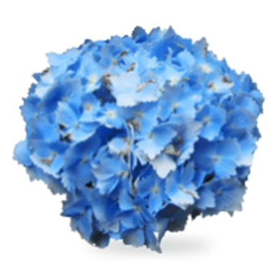 Blue Perennials