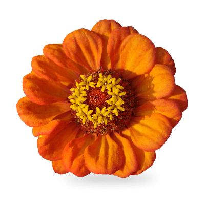 Orange Perennials